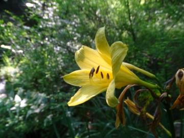 2016-06-24 Hemerocallis lilio-asphodelus Gaino (32)