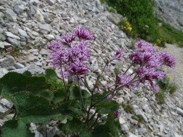 2015-07-15 fiori Arera 026