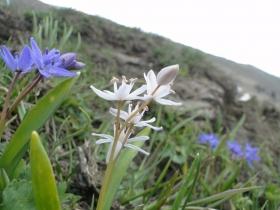 Scylla bifolia 2014-05-18 rifugio Golla