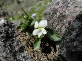 Viola canina 2011-05-07 Valle del Vo'