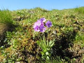 2017-06-11 cima Venegiota e Primula tyrolensis (116)