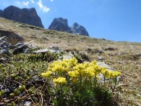 2017-06-11 cima Venegiota e Primula tyrolensis (153)