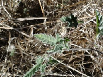 2011-09-02-Convolvulus-althaeoides-Sardegna-4