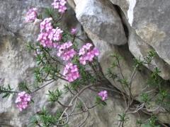 Daphne delle rocce ND
