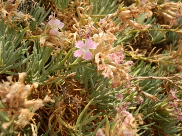 2017-08-21 Creta Dianthus fruticolus sub occidentalis (13)