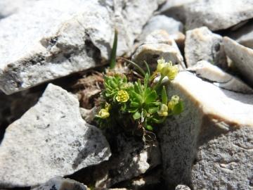 2017-07-23 Sass Pordoi fiori 084
