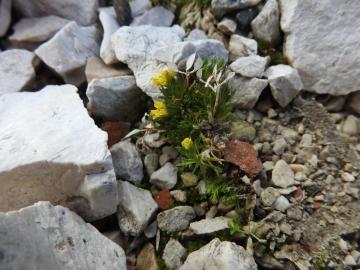 2017-07-23 Sass Pordoi fiori 051
