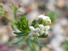 Galium montis-arerae