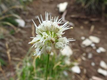2019-08-08-cima-Trappola-Allium-ochroleucum-10