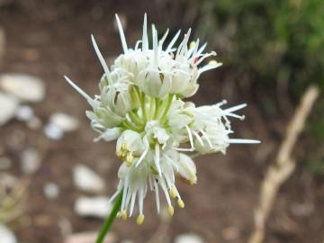 2019-08-08-cima-Trappola-Allium-ochroleucum-12