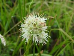Allium ochroleucum