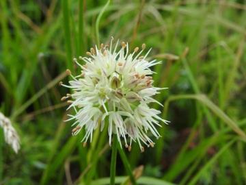 2019-08-08-cima-Trappola-Allium-ochroleucum-19