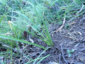 2019-08-08-cima-Trappola-Allium-ochroleucum-24