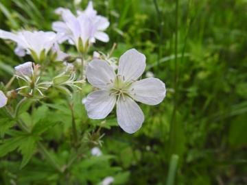 2017-06-11 cima Venegiota e Primula tyrolensis 013