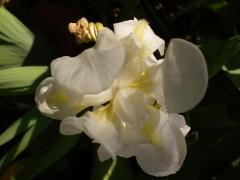 Iris fiorentina