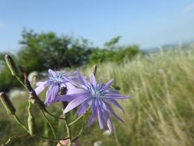 2018-05-06 Lactuca perennis_Cordespino_  (17)