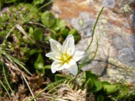 2008-06-21 fiori falangio alpino Valle delle Messi