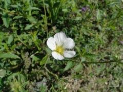 Minuartia laricifolia