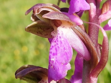 2018-06-09 Orchis spitzelii Brenta (24)