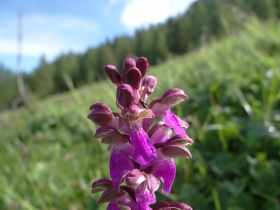 2018-06-09 Orchis spitzelii Brenta (36)