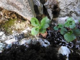 2017-06-11 cima Venegiota e Primula tyrolensis 135