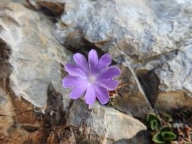 2017-06-11 cima Venegiota e Primula tyrolensis 136