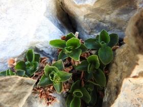 2017-06-11 cima Venegiota e Primula tyrolensis 143