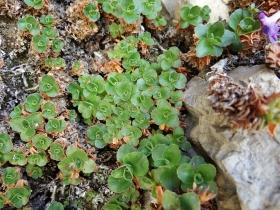 2017-06-11 cima Venegiota e Primula tyrolensis (175)