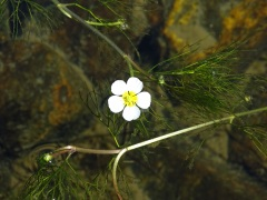 Ranunculus trichophyllus subs.eradicatus