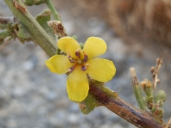Verbascum sinuatum