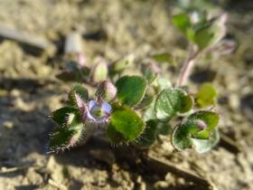 2017-03-12 Veronica hederifolia (2)