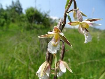 2016-06-24 Epipactis palustris Fratta (13)