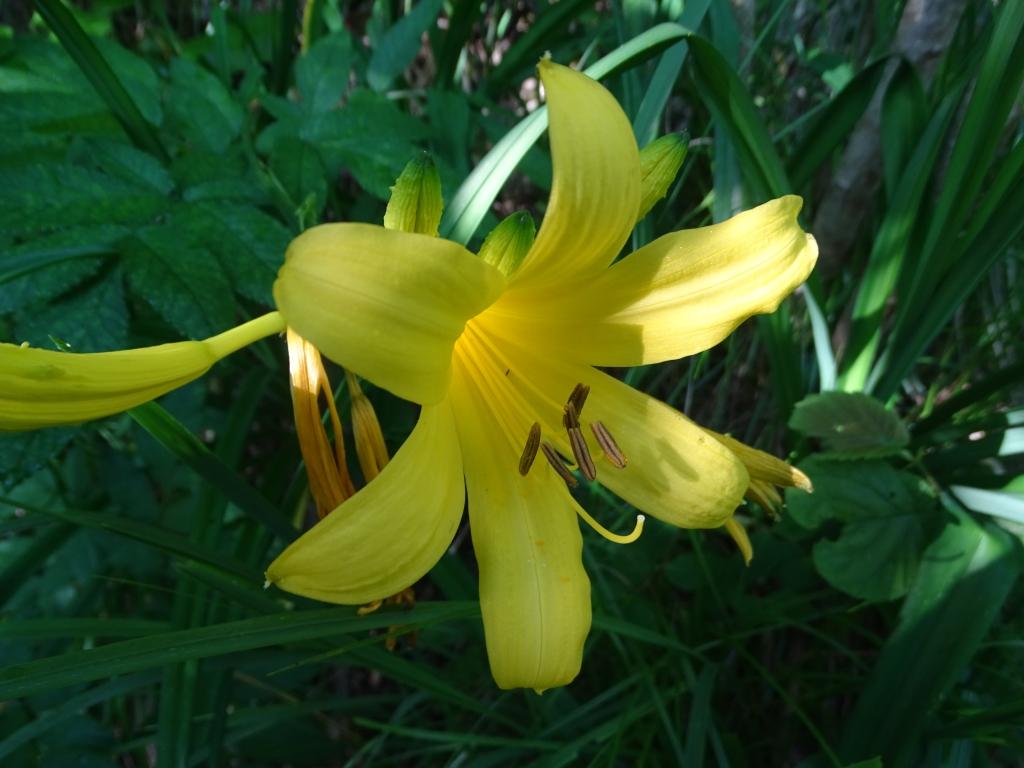 2016-06-24 Hemerocallis lilio-asphodelus Gaino (41)