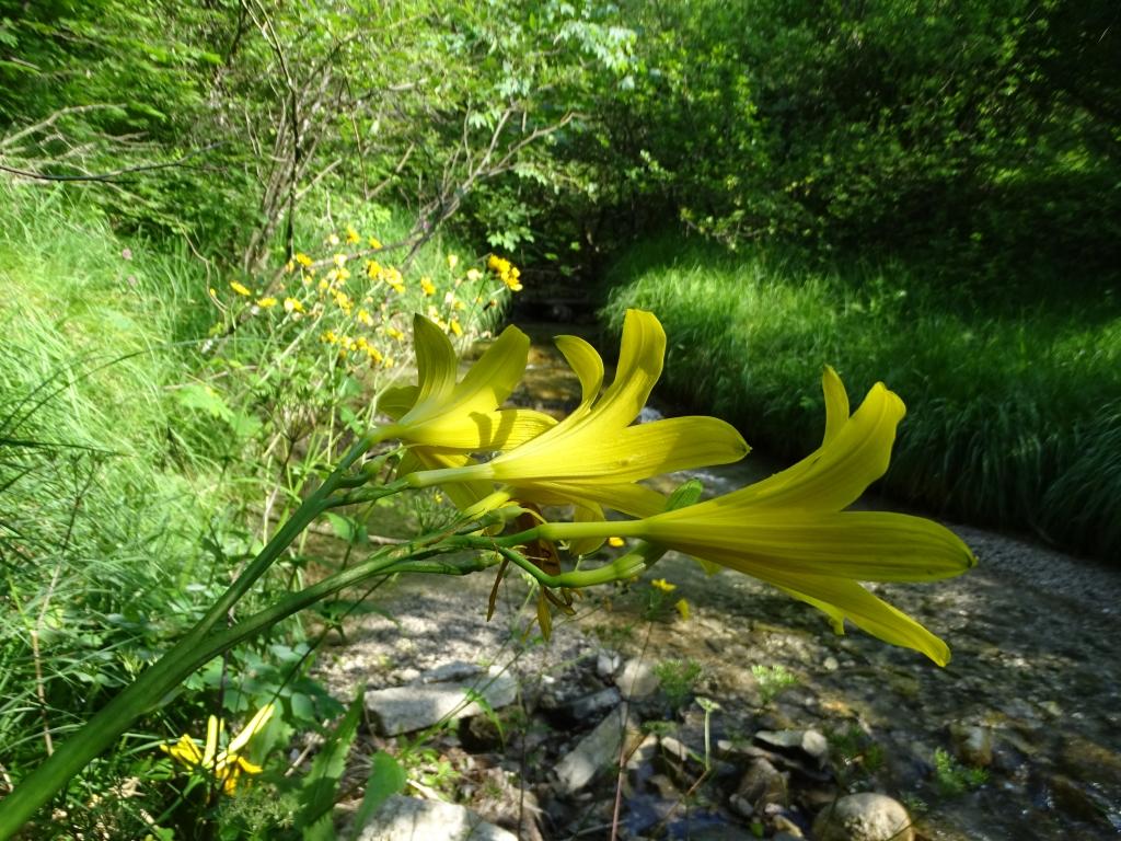 2016-06-24 Hemerocallis lilio-asphodelus Gaino (43)