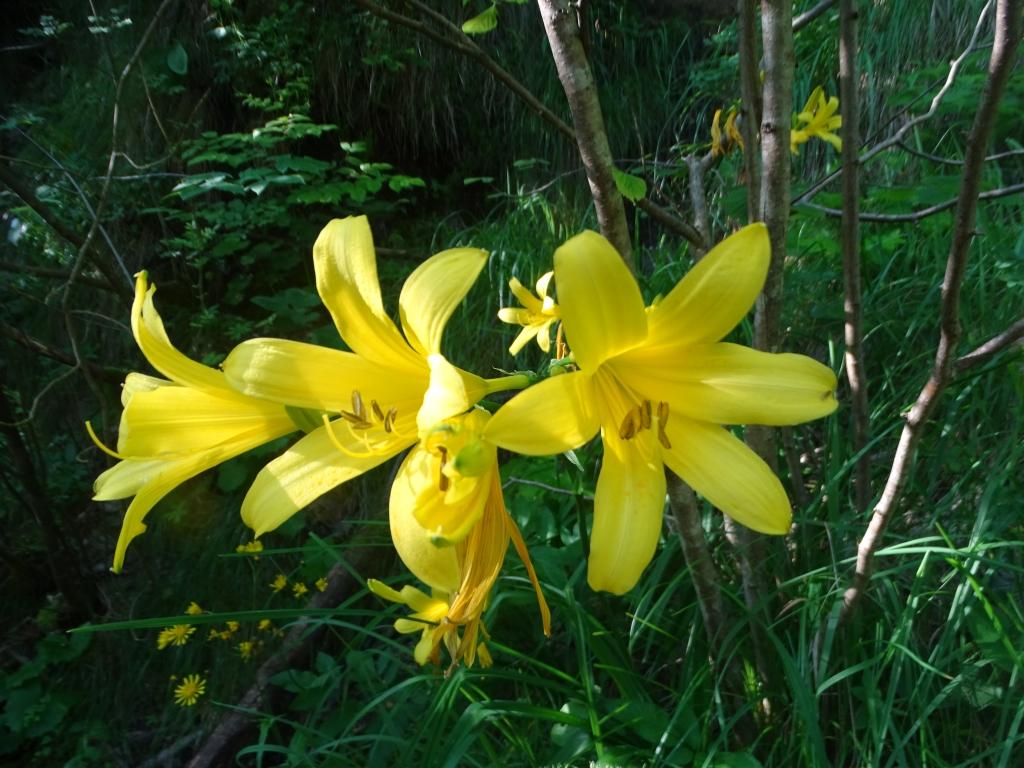 2016-06-24 Hemerocallis lilio-asphodelus Gaino (46)