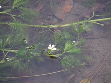 2008-11-02 fiore acquatico 018