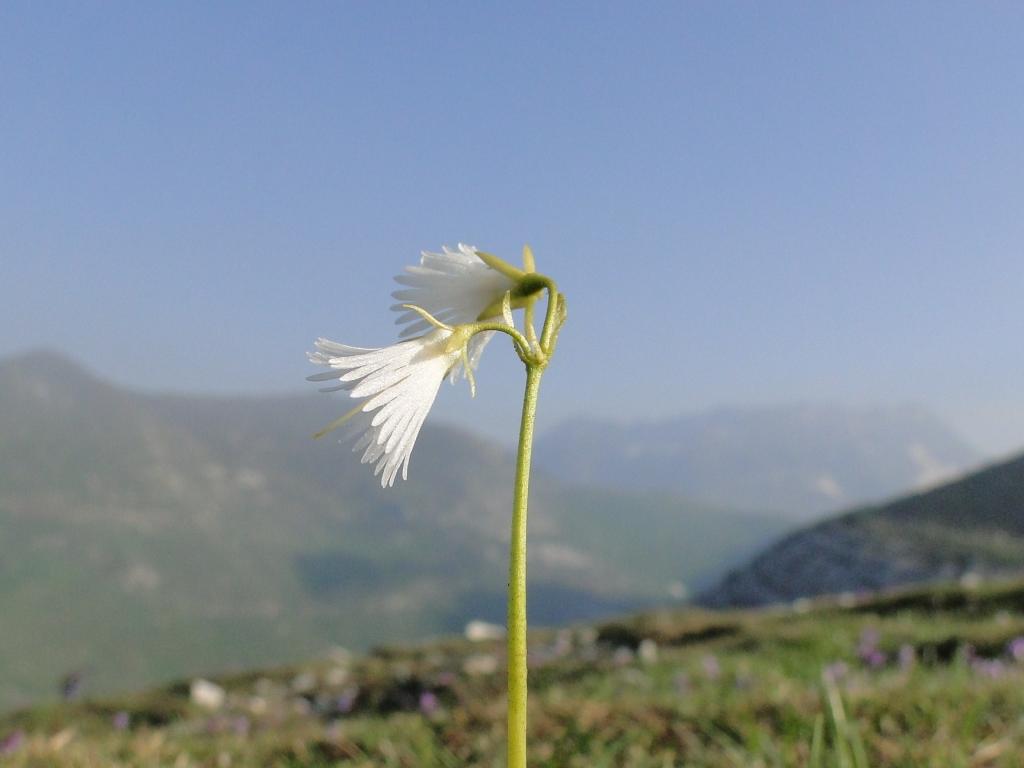 Soldanella alpina 2010-06-05 Arera