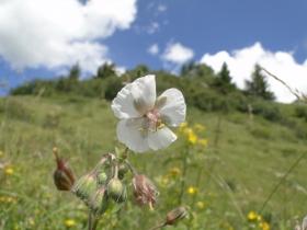 Geranium pratense 2012-07-22 Schilpario