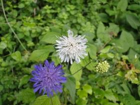 Knautia longifolia 201-06-28 Ezendola