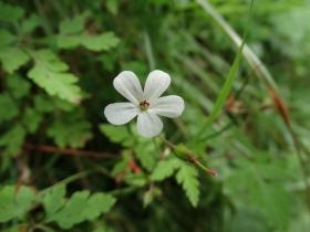 Geranium robertianum 2014-07-07 Passo Olona
