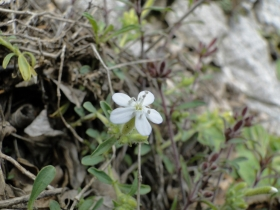Saponaria ocymoides 2012-04-25 Val Giumella