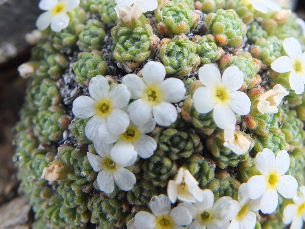 Copia di 2012-06-09 Crocedomini helvetica 070