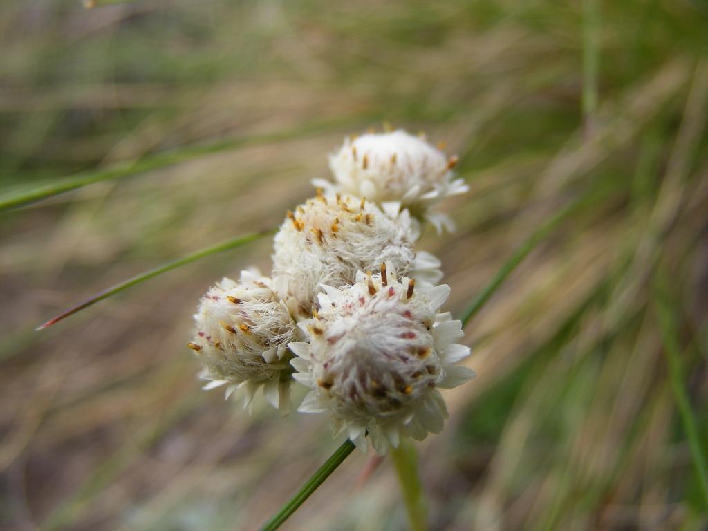 antennaria dioica 2008-07-26 punta monticelli 022 (2)