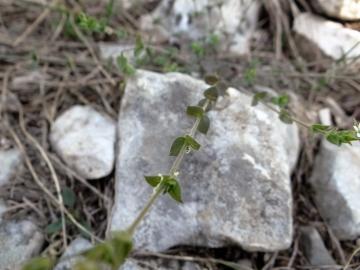 2018-04-28 fiori s.Marco 117