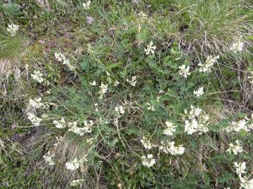 2021-07-03-Serosine-Astragalus-australis-1