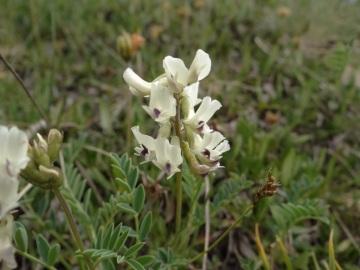 2021-07-03-Serosine-Astragalus-australis-3