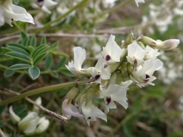 2021-07-03-Serosine-Astragalus-australis-6