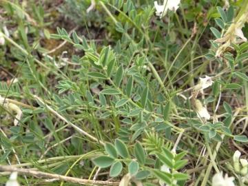 2021-07-03-Serosine-Astragalus-australis-7