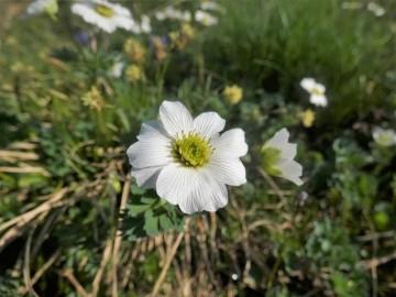 2019-07-27-Grostè-Callianthemum-20