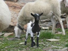 2008-08-03 ercavallo e montozzo pecore e caprette (2)